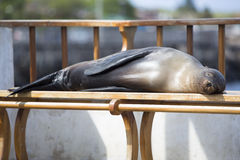 Sleeping Sea Lion on a bench, Galapagos Islands Royalty Free Stock Photography
