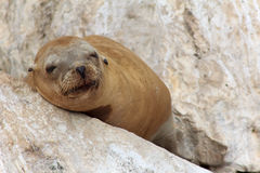 Sleeping Sea Lion Stock Image