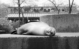 Sleeping Sea Lion Central Park Zoo 1972. Vintage image of a sea lion sleeping on the sea lion pool  in the Central Park Zoo in  New York City before the zoo was Royalty Free Stock Photos