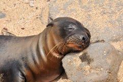 A sleeping sea lion stock image