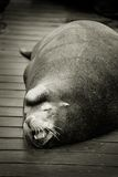 Sleeping sea lion on dock Stock Photos
