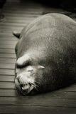 Sleeping sea lion on dock. Sleeping sea lion on a wood dock at the East Mooring Basin in Astoria, Oregon Stock Photos