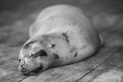Sleeping Sea Lion in the Galapagos. Sea lion sleeping on the wooden floor in the port of Puerto Ayora. Galapagos Islands 2015 Royalty Free Stock Image