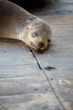 Sleeping Sea Lion in the Galapagos. Sea lion sleeping on the wooden floor in the port of Puerto Ayora. Galapagos Islands 2015 Royalty Free Stock Photography
