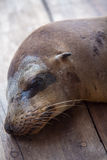 Sleeping Sea Lion in the Galapagos. Sea lion sleeping on the wooden floor in the port of Puerto Ayora. Galapagos Islands 2015 Stock Photo