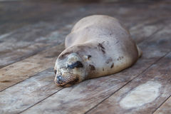 Sleeping Sea Lion in the Galapagos. Sea lion sleeping on the wooden floor in the port of Puerto Ayora. Galapagos Islands 2015 Stock Images