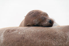 Sleeping sea-lion with head on another. Royalty Free Stock Images