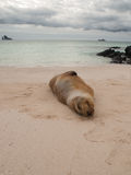 Sleeping Sea Lion. On its side on the beach with cloudy sky, green water, Kicker Rock in the background in Galapagos Islands, Ecuador Royalty Free Stock Photography