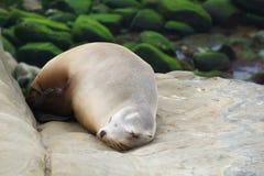 Sleeping Sea Lion. In La Jolla, California Royalty Free Stock Photography