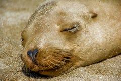 Sleeping Sea Lion. La Jolla Cove Sea Lion enjoying the sunshine and an afternoon nap Stock Photo