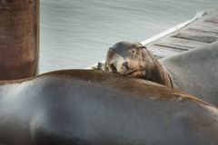 Sleeping sea lion. A sea lion rests his head on another sea lion on a pier in Newport, Oregon Stock Photos