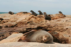 Sleeping sea lion on rocks. Sea lion takes a break, sleeping on rocks while others look to sea in background, new zealand Stock Images