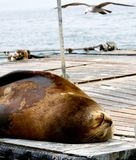Sleeping Sea Lion and Seagull. A fat sea lion lays on its back asleep on the dock while a seagull flies overhead Royalty Free Stock Photo