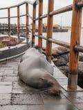 Sleeping Sea Lion. Sleeping wet large sea lion on tiles in port on San Cristobal, Galapagos Islands, Ecuador Stock Photos