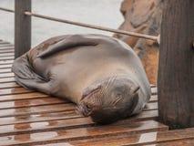 Sleeping Sea Lion. Sleeping wet large sea lion on wood planks in port on San Cristobal, Galapagos Islands, Ecuador Stock Photography