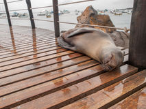 Sleeping Sea Lion. Sleeping wet large sea lion on wood planks in port on San Cristobal, Galapagos Islands, Ecuador Stock Photos