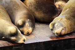 Sleeping Sea Lions. Sea lions sleeping on a wooden raft at Pier 39 in San Francisco, California, USA Stock Photo