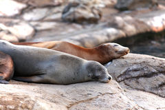 Sleeping sea lions Royalty Free Stock Photography