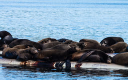 Sleeping Sea Lions Royalty Free Stock Image