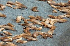 Sleeping sea lions Stock Image