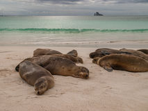Sleeping Sea Lions Royalty Free Stock Photo