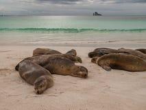 Sleeping Sea Lions Royalty Free Stock Photo