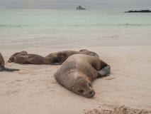 Sleeping Sea Lions Royalty Free Stock Photography