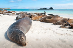 Sleeping Sea Lions Galapagos Royalty Free Stock Photos