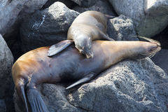 Sleeping Sea Lions in the Galapagos Royalty Free Stock Photography