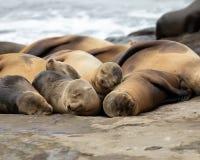 Sea Lions sleeping on the beach. Sea Lions sleeping on the rocks La Jolla Beach, California royalty free stock images
