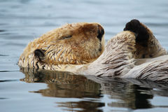 Sleeping Sea Otter Royalty Free Stock Image
