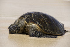 Sleeping Sea Turtle Royalty Free Stock Photography