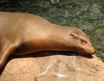 Sleeping seal Royalty Free Stock Images