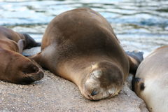 Sleeping Seal royalty free stock photography