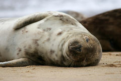 Sleeping Seal Stock Image