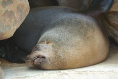Sleeping seal Stock Photo