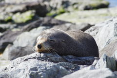 Sleeping seal Stock Photo