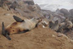 Sleeping seal Stock Photography