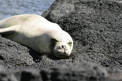 A sleeping seal. A seal is sleeping on a rock. Photo was taken in Hawaii stock images