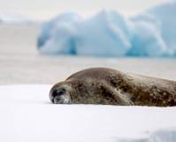 Sleeping Seal in Antarctica. Seal sleeping on ice floe in Antarctica Stock Photography