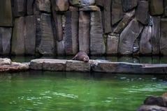 Sleeping seal Stock Image