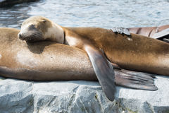 Sleeping seal Royalty Free Stock Photos
