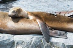 Sleeping seal Royalty Free Stock Photos