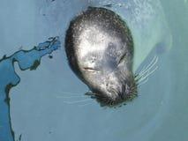 Sleeping Seal Royalty Free Stock Photo