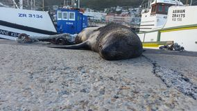 Sleeping Seal - kalk bay harbour, cape town royalty free stock photography