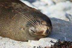 Sleeping seal. A seal sleeping in New Zealand Stock Photos