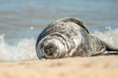 Sleeping seal pup stock photos