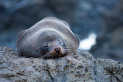 Sleeping seal Stock Images