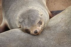 Sleeping Seal. In Walvis Bay, Namibia Stock Image