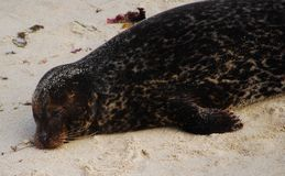 Sleeping Seal in the wild. A young seal sleeping on the sand in the wild Stock Photos